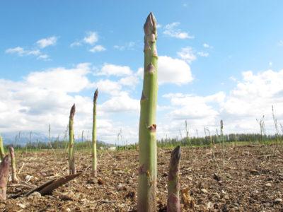 旬のアスパラガス アスパラガス畑